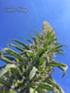 Echium Pinanana Spire Fantastic Bee plant