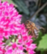 Honeybee on Sedum
