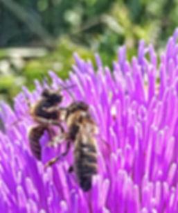 Honeybee on Artichoke Flower