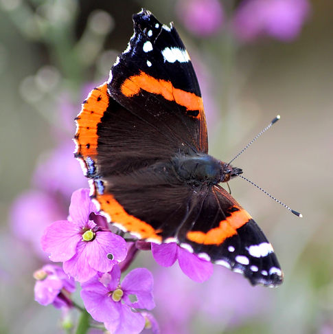 Red Admiral Butterfly on Wallflower Erysium Bowles Mauve