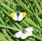 Orange Tip Butterfly Anthocaris cardamines