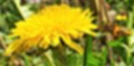 Honeybee covered in Pollen.jpg