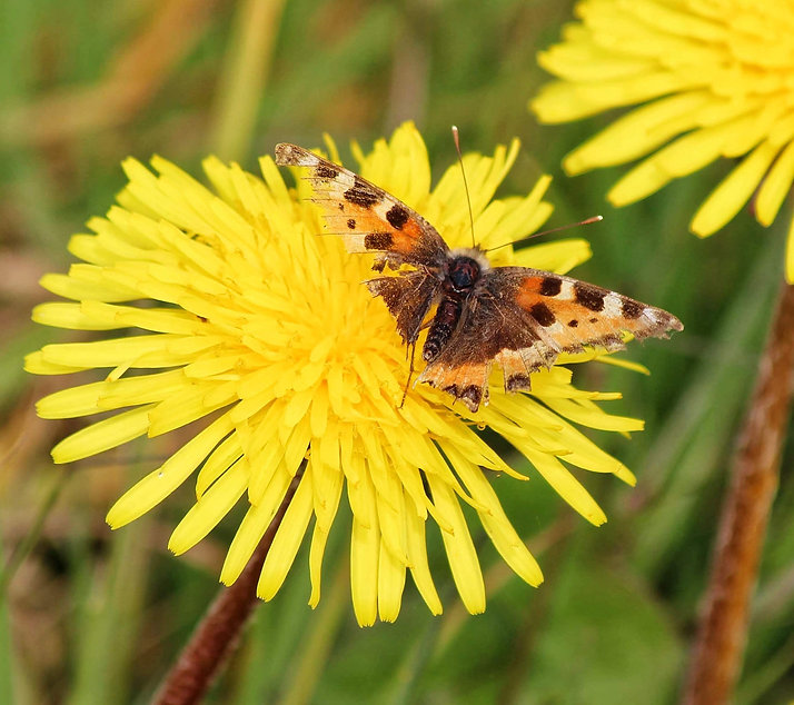 Painted lady butterfly on a dandelion flower.
