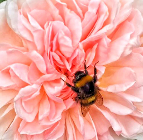 Bumblebee confused on a multi-petalled rose