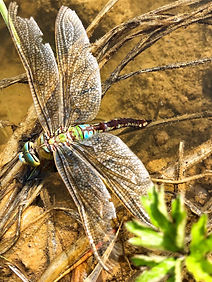 EmperorDragonfly Anax imperator