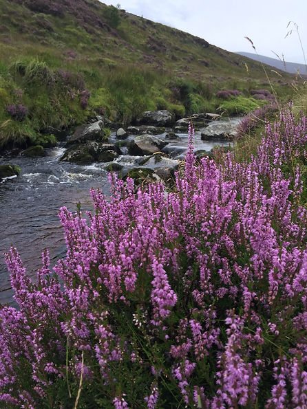 Heather plant in flower