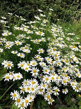 Ox eye daisy at Wildacres