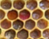 Stored Pollen.JPG