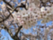 Spring Cherryblossom