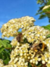 Honeybee and Bumble Bee foraging on Sorbus spp. in my backgarden