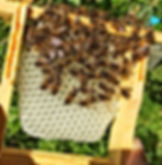 Bees on Beautifull freshly drawn comb