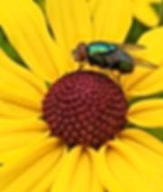 Greenbottle Fly