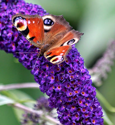Peacock Butterfly on Buddleia bush