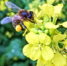 Honeybee on Oil Seed Rape