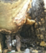 Honeybee colony extending down into Chimney Cavity