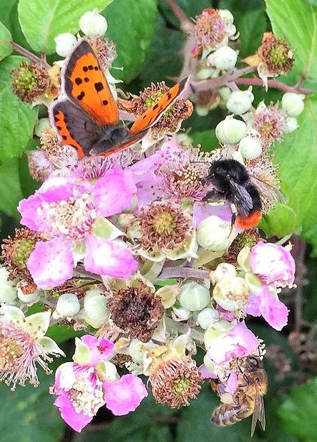Butterfly, Bumblebee and honeybee feeding on bramble flower.