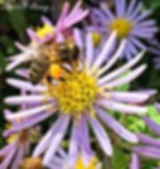 Bee on Aster.jpg