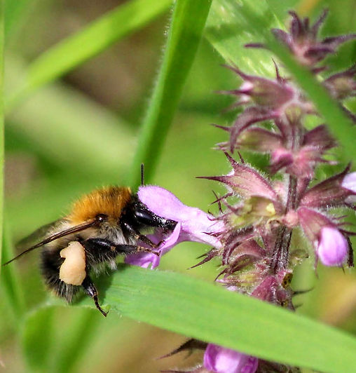 Carder bumbebee loaded with pollen drinking nectar on wildlflower.