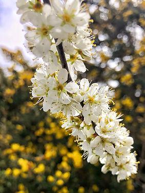 Blackthorn in flower.