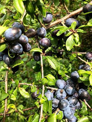 Blackthorn fruit known as Sloes at Wildacres