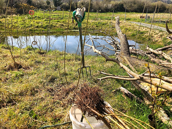 Planting around the pond with native willow