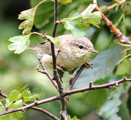 Juvenile Chiffchaff fledged at Wildacres in 2020