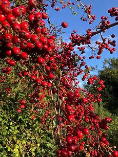 Hawthorn Berries in Autumn.