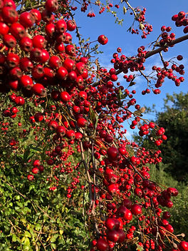 Hawthorn Berries in Autumn.