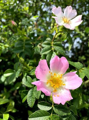 Wild Rose Rosa rugosa