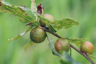 Oak Galls caused by a small Parasitic wasp