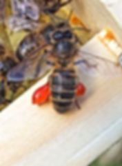 Honeybee with a full load of propolis