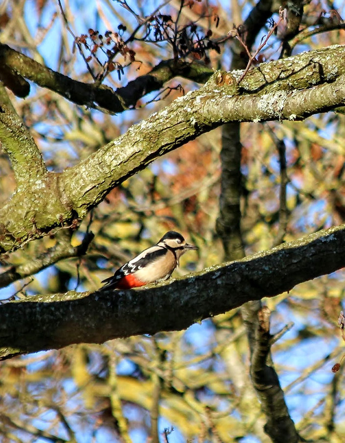 Great Spotted Woodpecker Dendrocopos major Adult Female