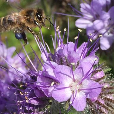 Honeybee%20with%20Blue%20Pollen%20from%2