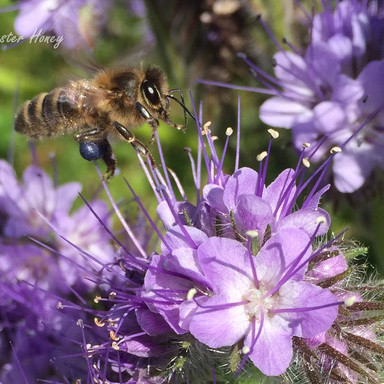 Honeybee with Purple Pollen from Phacellia