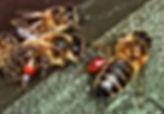 Honeybee with Propolis