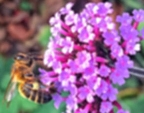 Honeybee on Verbena Bonarensis