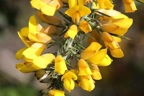 Common Gorse Ulex europaeus