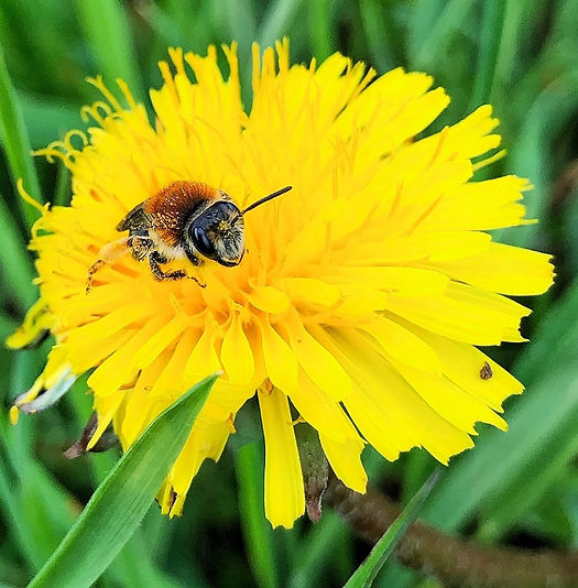 Solitary Bee on Dandelion