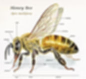Honeybee Anatomy