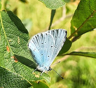 Holly Blue Celastrina agriolus