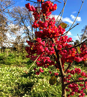 Spindle bush covered in beautiful berries