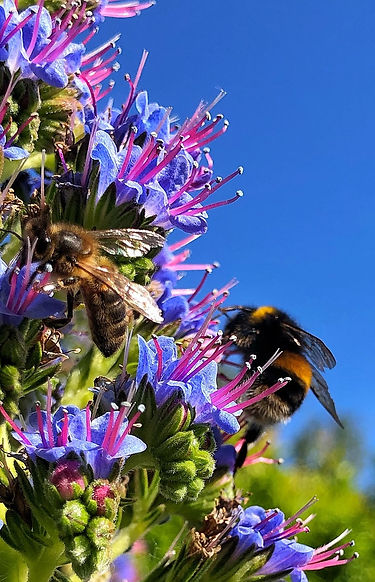 Honeybee and Bumblebee on Echium pininana