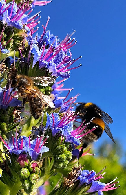 Echium pininana with Honeybee and Bumblebee