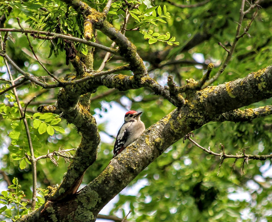 Great Spotted Woodpecker at Wildacres