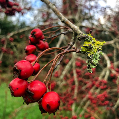 Our Native Hedgerows