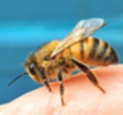 Honeybee on my Finger