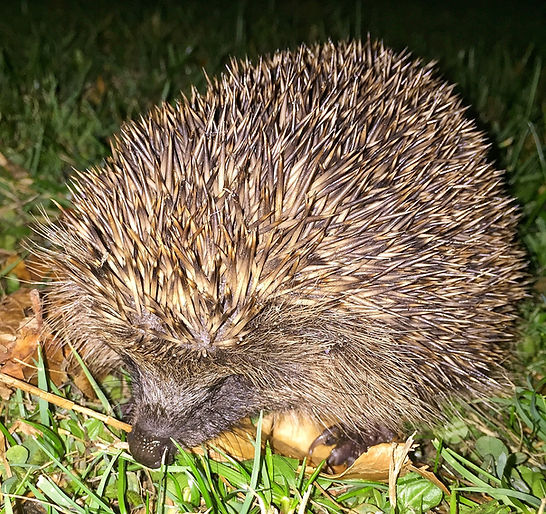 Hedgehog out foraging