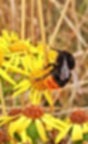 Red Tailed Bumblebee.JPG