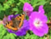 Small Tortoiseshell Butterfly.JPG