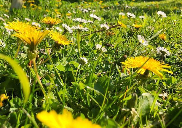 Dandelions and Daises in full flower